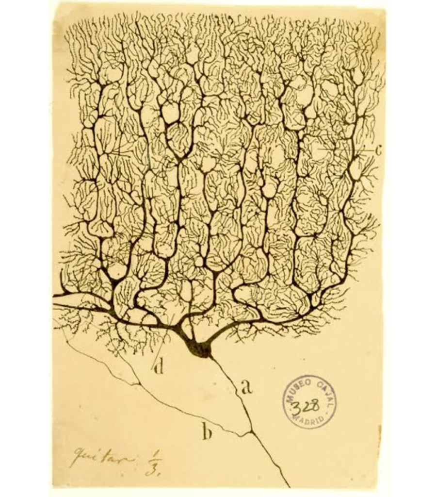 Spanish anatomist Santiago Ramon y Cajal's drawing of a Purkinje cell